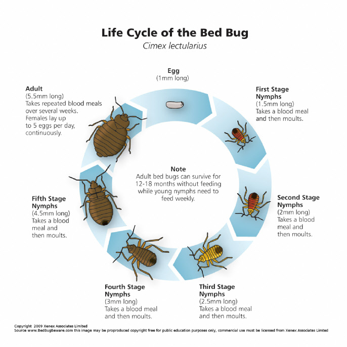 Growth Cycle Of A Bed Bug